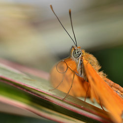 Oranje Passiebloemvlinder.