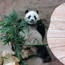 Panda in Ouwehands dierenpark