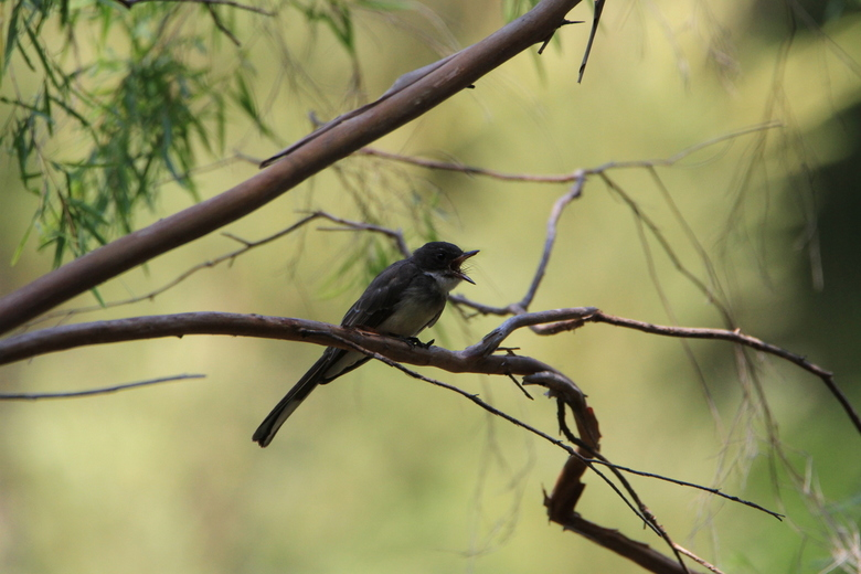 Willy wagtail -