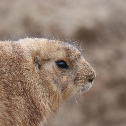 Prairie hondje in wildlands
