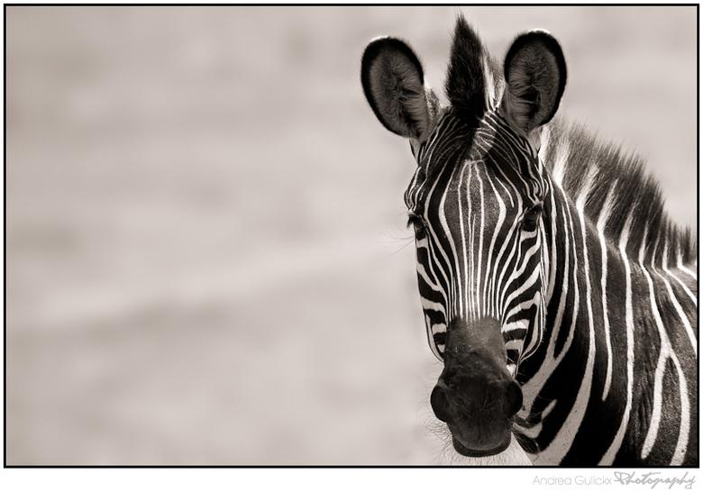 Stripes - De kleuren foto's komen wel weer terug maar ik vind het leuk om even iets anders te doen en deze zebra leende zich wel goed voor zw/sep