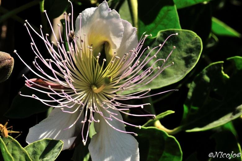 Kappertjesbloem. - Capparis spinosa ook bekend onder de naam kappertjesplant. Kappertjes zijn inheems in het Middellandse-Zeegebied en kan groeien op