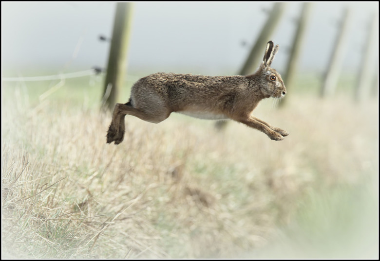 Slootje springen - Geweldig is te zien met welk gemak een haas over een flinke sloot kan springen  ,door met hun krachtige achterpoten flink af te zet