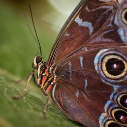 Blue Morpho up close