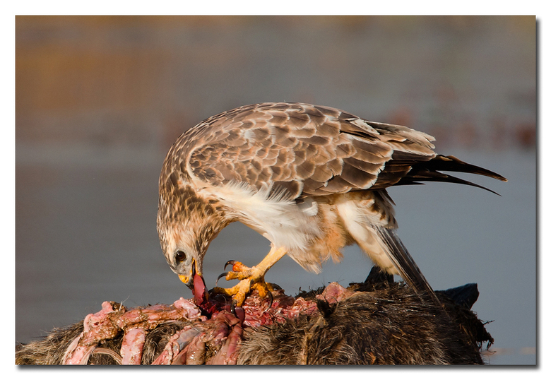 Puur de natuur! - de natuur is hard, het is leven, en overleven, oftewel eten, en gegeten worden, dat laat deze buizerd goed zien die zich te goed doe
