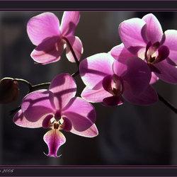Zon door orchidee.....