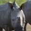 Rhino @ Botswana
