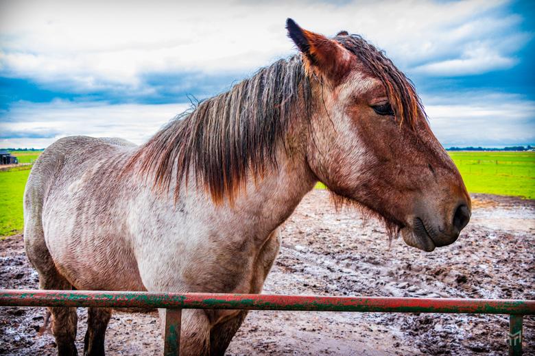 Paard vraagt om aandacht - Het paard in de polder van Eemnes vraagt om aandacht terwijl zijn maatjes al weggelopen zijn. Stilletjes kan ik nog een fot