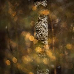 berkenboom met lichtjes