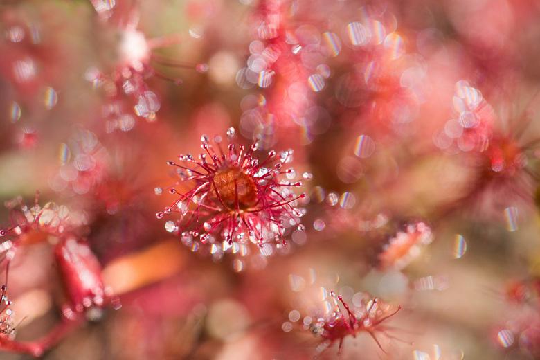 632A7088 copy - Zonedauw, een wonderlijk plantje.