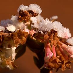 Besneeuwde bloemetjes