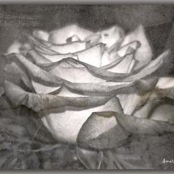 Een roos.............