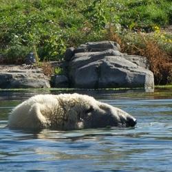 topje van de ijsbeer