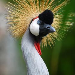 Kraanvogel