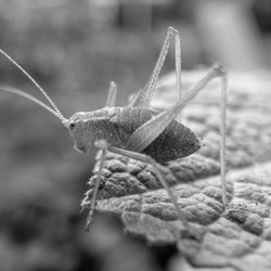 Struiksprinkhaan op een blad