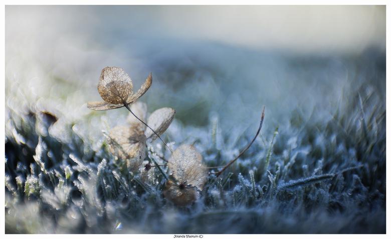 Stilleven - Hortensia in berijpt gras.