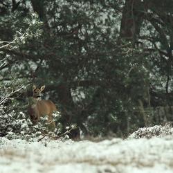 Reegeit in de sneeuw