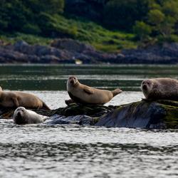 zeehonden, Lochals, Schotland