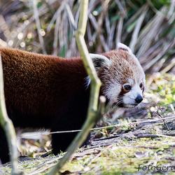 Rode Panda 3