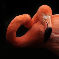 Slapende flamingo.