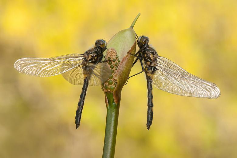 Just the 2 of us! - Deze twee verse Noordse Witsnuitlibellen, zaten lekker in het zonnetje hun vleugels te drogen. <br /> Iedereen een fijn weekend g