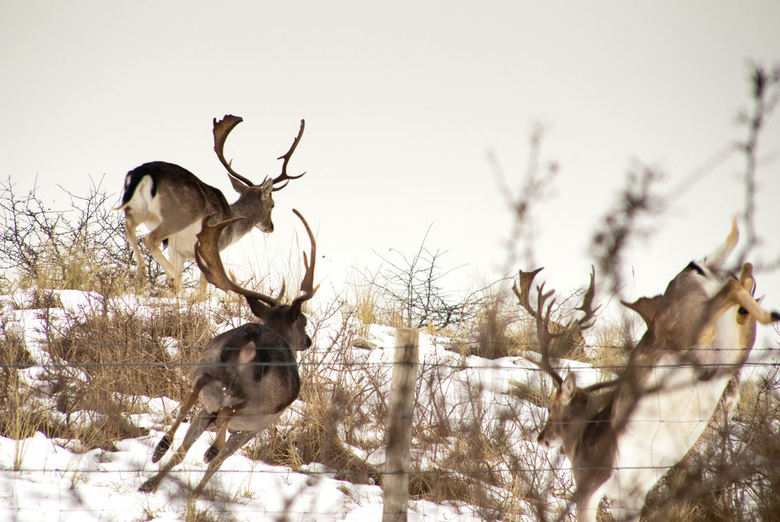 Damherten op de vlucht voor een amateurfotograaf... - Tijdens een grijze winterse dag genomen in de Amsterdamse waterleidingduinen. Hier lopen damhert