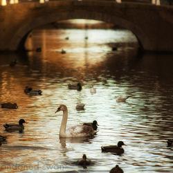 Delft - abandoned swan