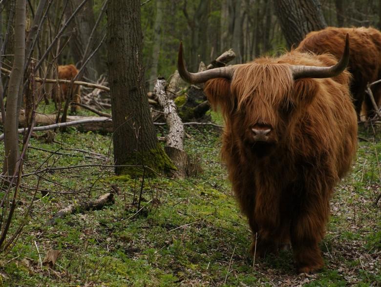 Schotse hooglander (1)