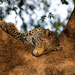 Slapende luipaard