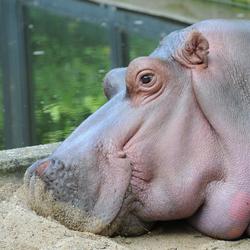 Tanja, het nijlpaard