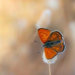 Orange divinity