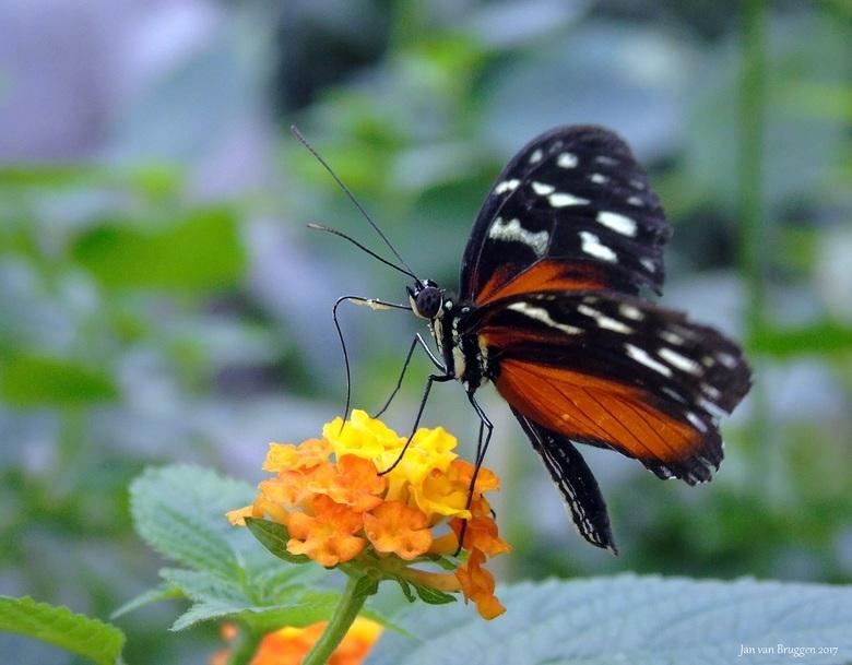Heliconius Hecale...  - Deze passiebloemvlinder ( heliconius hecale ) is lekker aan het snoepen van een bloem. <br /> <br /> Heliconius Hecale is ee