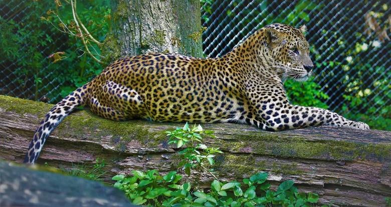 Srilanka Panter - De Panter                                     leefgebied  Tropische bossen van Sri lanka<br /> En is een van de bedreigde dier soor