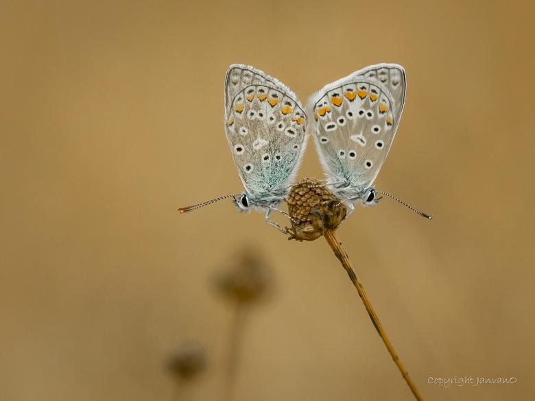 Two times blue  - Een van de meest fotogenieke vlindertjes van nederland, het Icarusblauwtje, en dan maal twee.<br /> <br /> Beter/groter  zien? (Kl