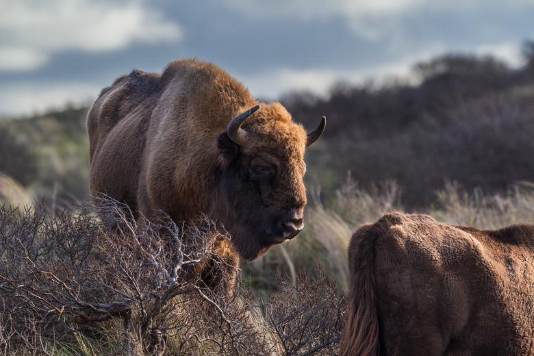 European Bison in Zandvoort-Bloemendaal No.WM - <br /> To Save the Wisent;<br /> <br /> Het eerste wisentproject in Nederland<br /> Sinds april 20