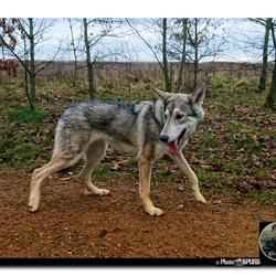 Wolfdog-by-PhotoSPURS