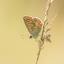 Bruinblauwtje