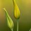 statige tulpen    IMG_1898