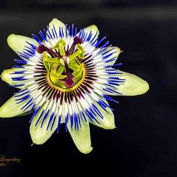 Passie(bloem)