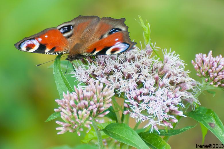 DSC_1857.jpg - vlinder 1