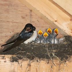Familie Zwaluw