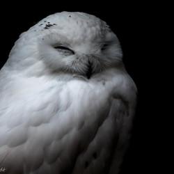 Low Owl