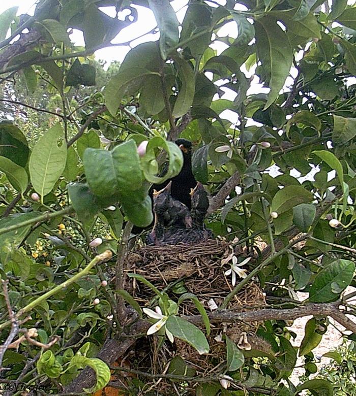 Jong leven.... - Ik zag tijdens het snoeien een nest met jonge merels zitten in een citrus boom, meteen gestopt terwijl de helft al gesnoeid was. Toen