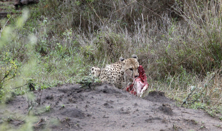 lunchtime - Lunchtime voor deze cheetah die lekker lag te peuzelen aan een impala. Af en toe keek hij even op en ging rechtop zitten om te kijken of w