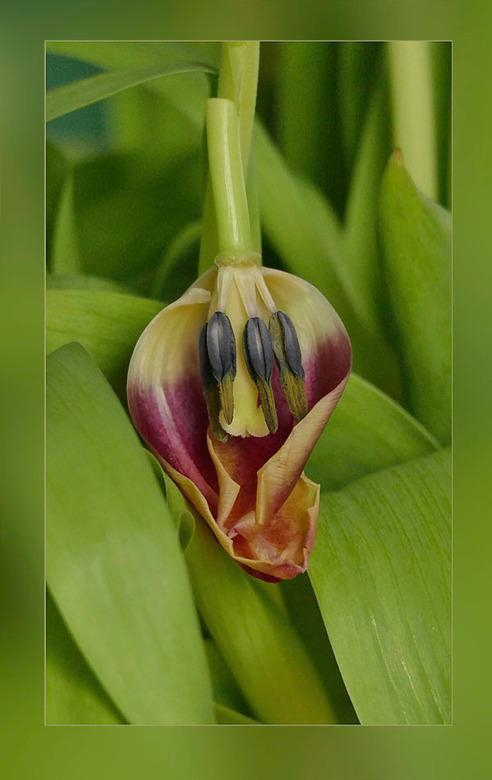 hoe mooi.................. - kan de binnenkant van een tulp zijn....