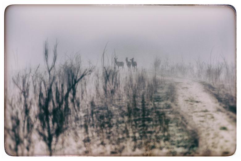 De drie musketeers - Deze drie hindes verstopten zich gauw in de mistige omgeving. Door de mist lijkt de foto in een aquarel verandert te zijn.