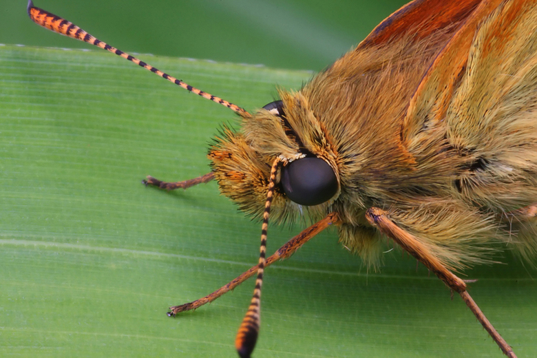 insecten net als de vlinder