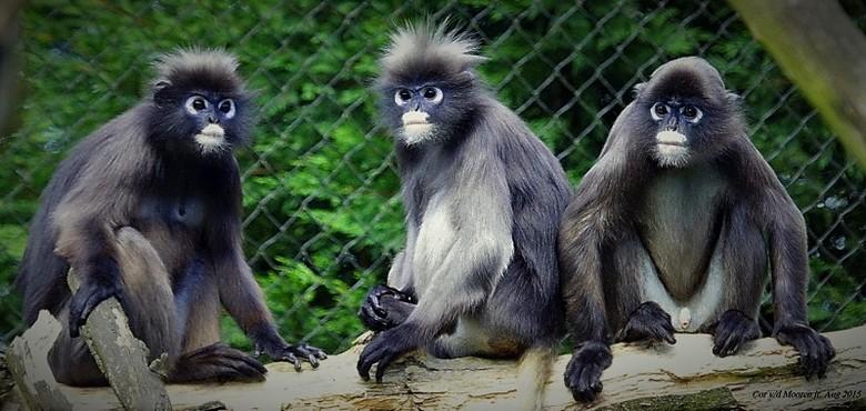 Zeldzame Brillangoeren Apen - Land van herkomst<br /> Thailand  &amp;  Maleisie