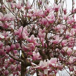 Voorjaar 2019,de Magnolia in bloei