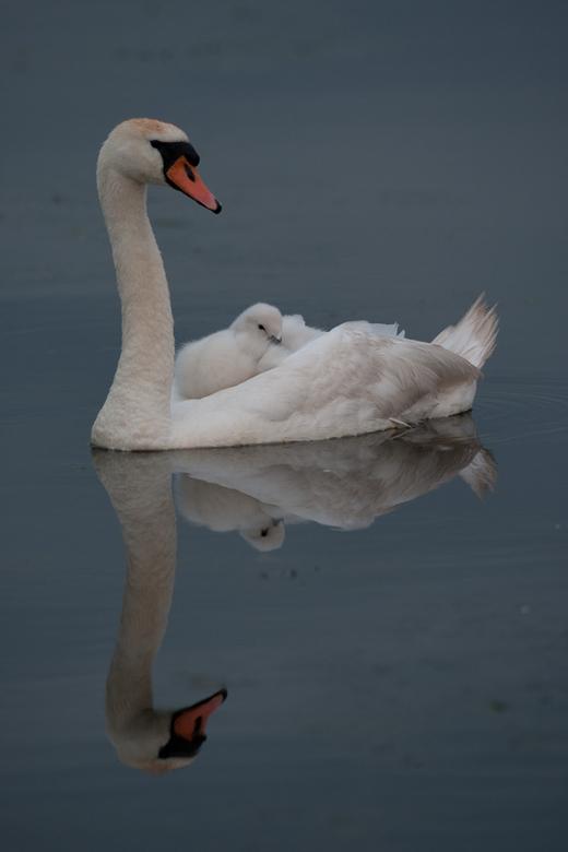 Slaperig - Vanochtend vroeg voor de regen uit, naar de polder geweest en trof daar moeder en kind aan. Heerlijk doezelend bij moeder op de rug. De zwa